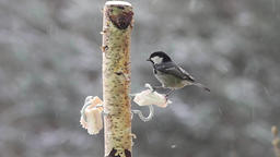 The Coal Tit (Periparus ater) eating pork fat (lard). Winter at bird feeder Live Action