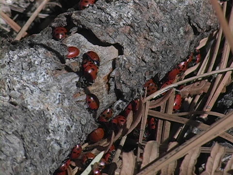 A swarm of ladybugs cover a log Footage
