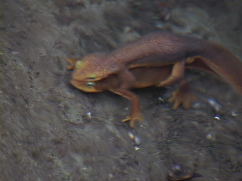 Salamanders mate underwater while swimming Stock Video Footage