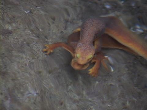 Salamanders mate underwater while swimming Footage