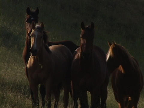 Wild horses stand in a field Stock Video Footage