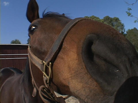 A corralled horse sniffs the air Footage