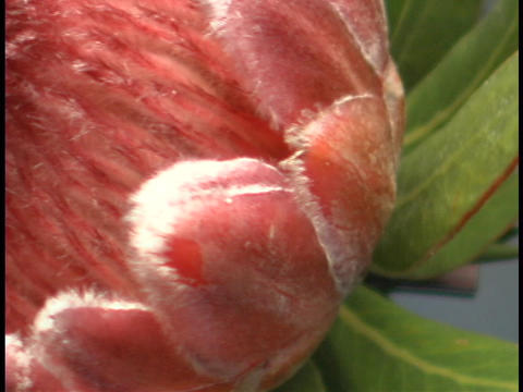 Leaves surround a flower bud Stock Video Footage