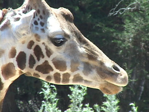 A giraffe licks its lips Stock Video Footage