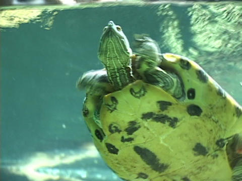 turtles swim underwater Stock Video Footage