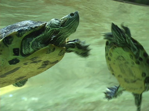 turtles swim underwater Footage