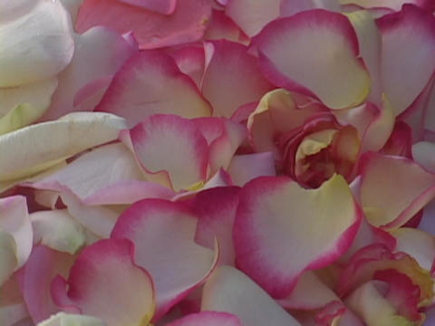 Rose petals fall onto a pile of petals Stock Video Footage