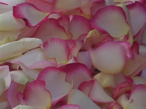 Rose petals fall onto a pile of petals Footage