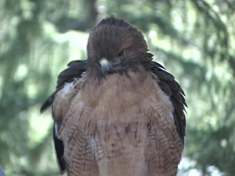 A hawk perches in a tree and scans its surroundings Footage