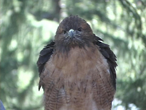A hawk perches in a tree and scans its surroundings Stock Video Footage