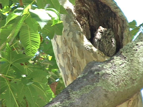 An owl sleeps in the hollow of a tree branch Stock Video Footage