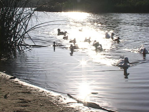 Ducks waddle onto shore from a golden pond Stock Video Footage