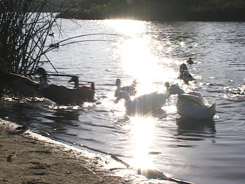 Ducks waddle onto shore from a golden pond Live Action
