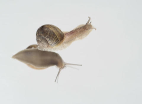snails slither on a glass surface as seen from underneath Stock Video Footage