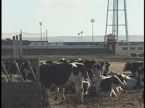 Cattle lounge and eat in a ranch corral Stock Video Footage