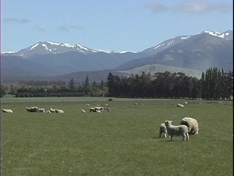Sheep graze on a farm in New Zealand Stock Video Footage