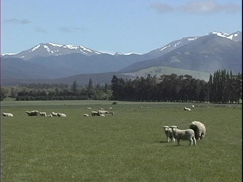 Sheep graze on a farm in New Zealand Footage