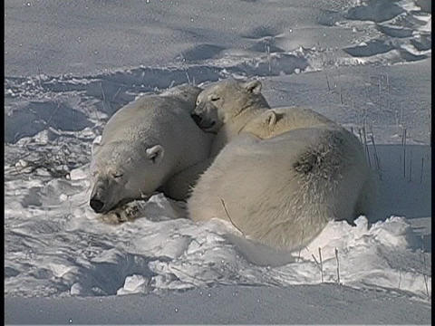 Three polar bears huddle and sleep in the Arctic snow Stock Video Footage