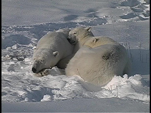 Three polar bears huddle and sleep in the Arctic snow Footage