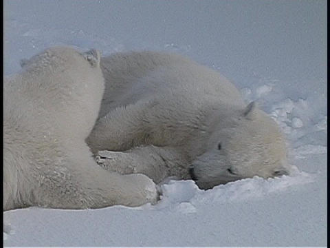 Polar bears lie on the snow and show affection for one another in the Arctic wilderness Footage