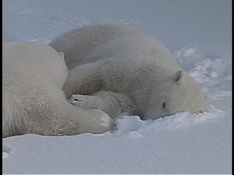 Polar bears lie on the snow and show affection for one... Stock Video Footage
