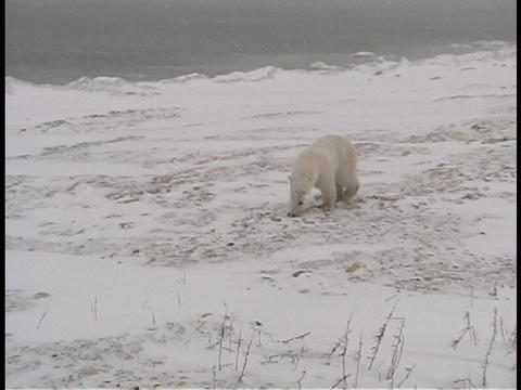 A polar bear walks along a frozen shoreline near... Stock Video Footage