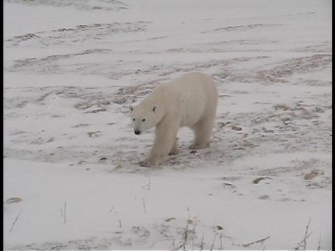 A polar bear walks along a frozen shoreline near... Stock Video Footage