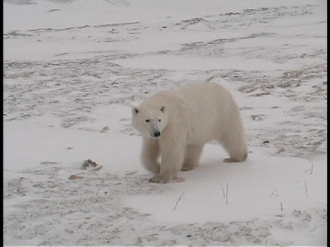 A polar bear walks along a frozen shoreline near Churchill, Alaska Footage