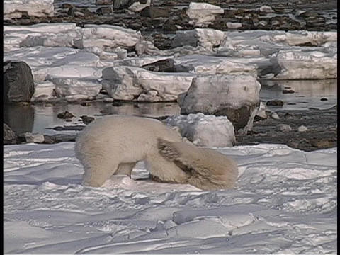 polar bears fight and play along a snowy Arctic shoreline Stock Video Footage