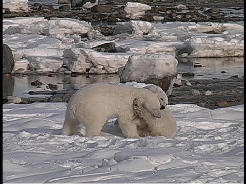 polar bears fight and play along a snowy Arctic shoreline Footage