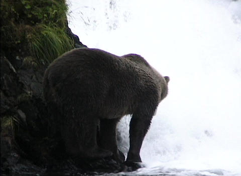 A bear waits patiently for a salmon swimming upstream to... Stock Video Footage