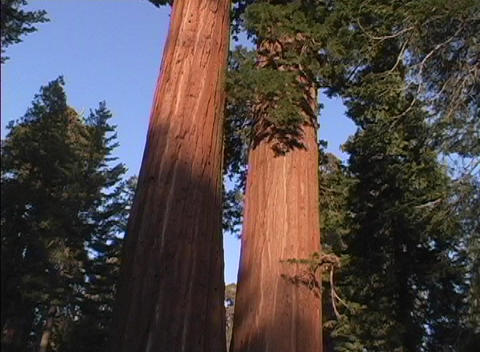 Ancient redwood trees tower above the rest of the forest Stock Video Footage