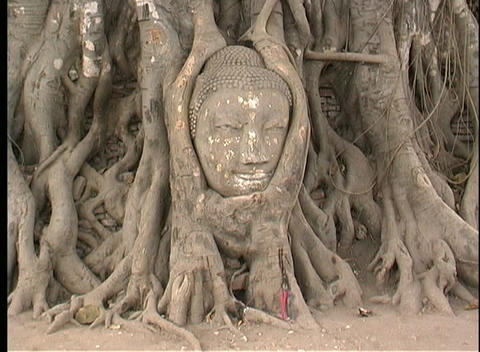 The roots of a banyan tree surround the head of a Buddha... Stock Video Footage