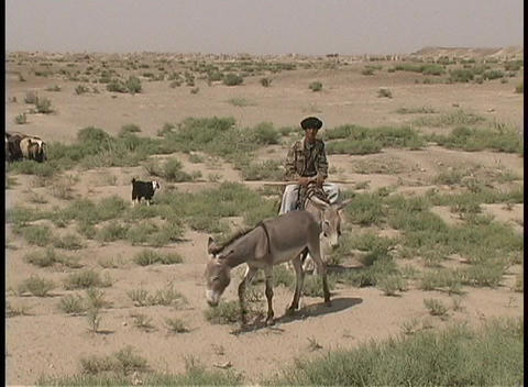 A man rides his donkey to round up his herd of goats Footage