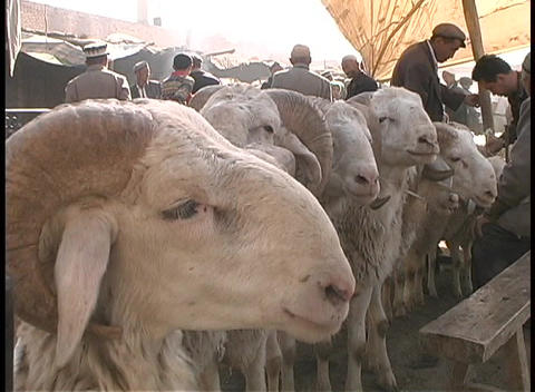 Goats wait along a rope at an outdoor market in Kashgar,... Stock Video Footage