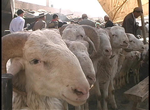 Goats wait along a rope at an outdoor market in Kashgar, China Footage