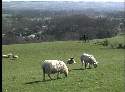 Sheep grazing peacefully are watched by a shepherd on horseback in North York, Great Britain Footage