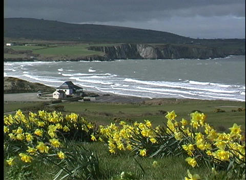 Under a stormy sky, bright yellow blossoms are tossed... Stock Video Footage