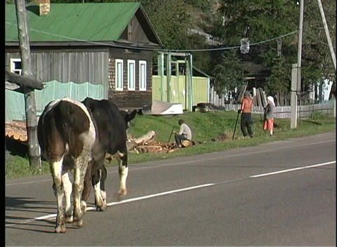A pan shot of two black and white cows walking down the... Stock Video Footage