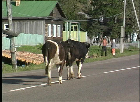 A pan shot of two black and white cows walking down the middle of a road in the Ural Mountains in Ru Footage
