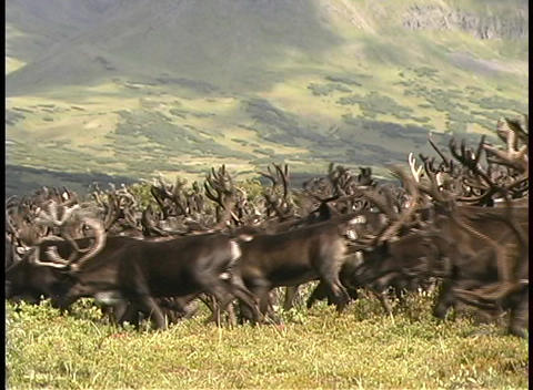 A large herd of reindeer roam the grassy plains of Kamchatka Peninsula in Siberia Footage