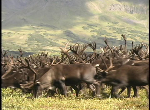 A large herd of reindeer roam the grassy plains of... Stock Video Footage