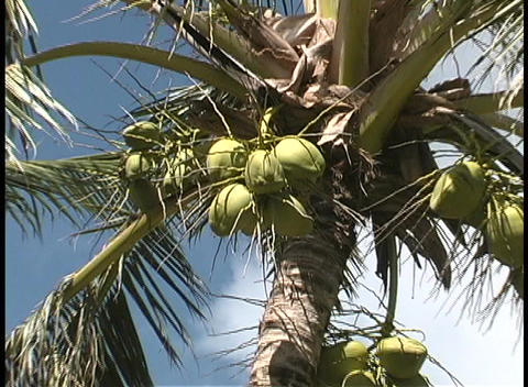 Green coconuts grow on a palm tree on Paradise Island Stock Video Footage