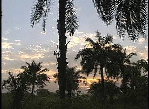 Palm trees in the Sahara Desert are backed by golden skies Stock Video Footage