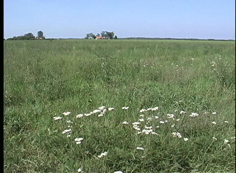 A medium shot of a breeze blowing lightly across a flowered meadow in Hungary Footage