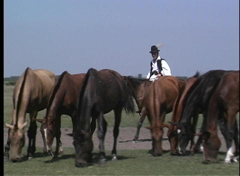 A male, in native costume, rides his horse through a herd... Stock Video Footage
