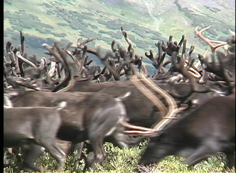 Medium shot of a reindeer heard roaming the plains of... Stock Video Footage