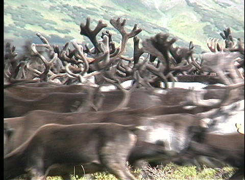 Medium shot of a reindeer heard roaming the plains of Kamchatka, Siberia Footage