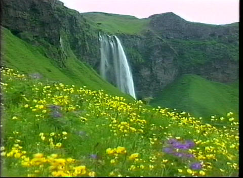 A lovely flower covered hillside is the foreground for rugged cliffs and a waterfall in Iceland Footage