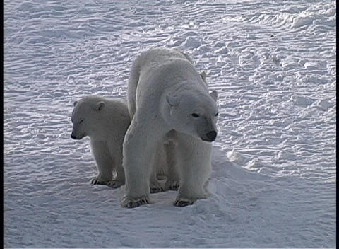 A Polar Bear And Two Cubs Cautiously Look Around In An Arctic Wilderness In Churchill, Alaska stock footage
